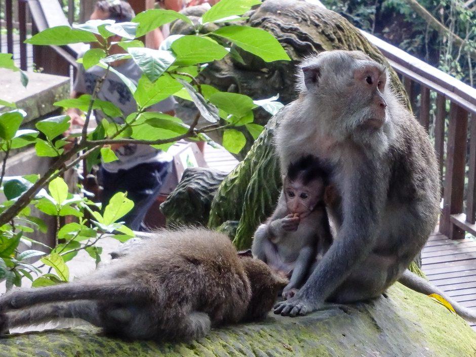 familj av apor