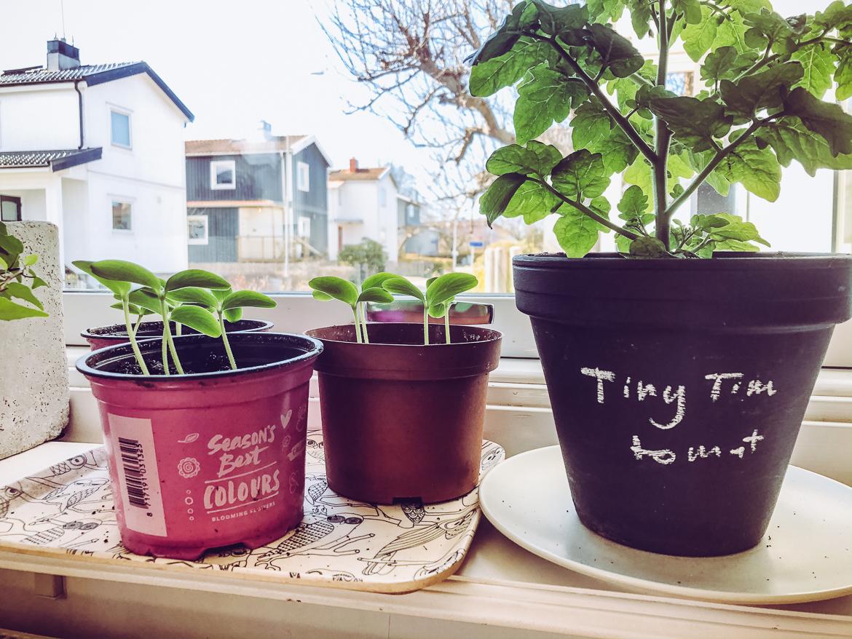 tomater och gurkor (plantor)