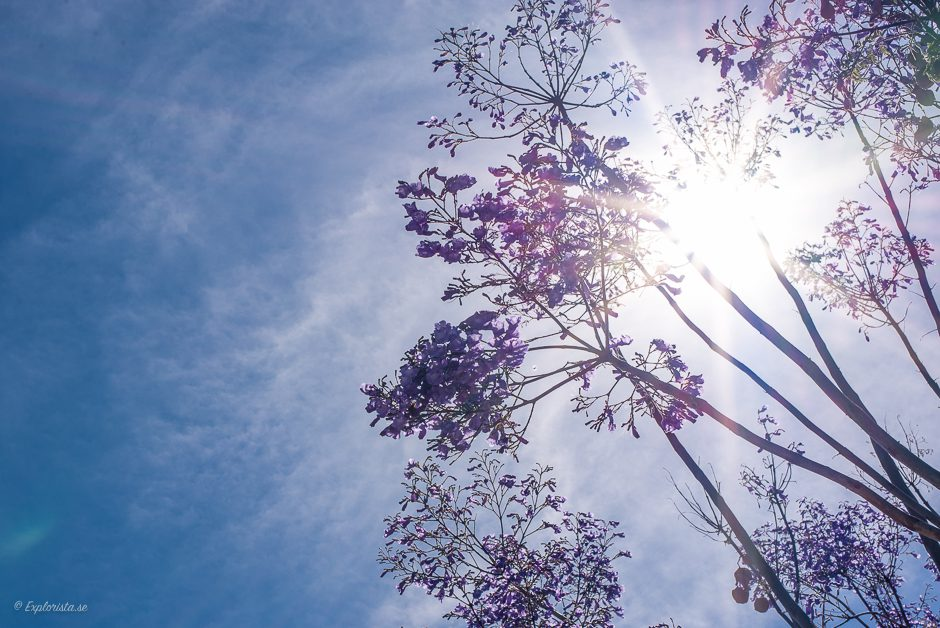 lila blommande träd