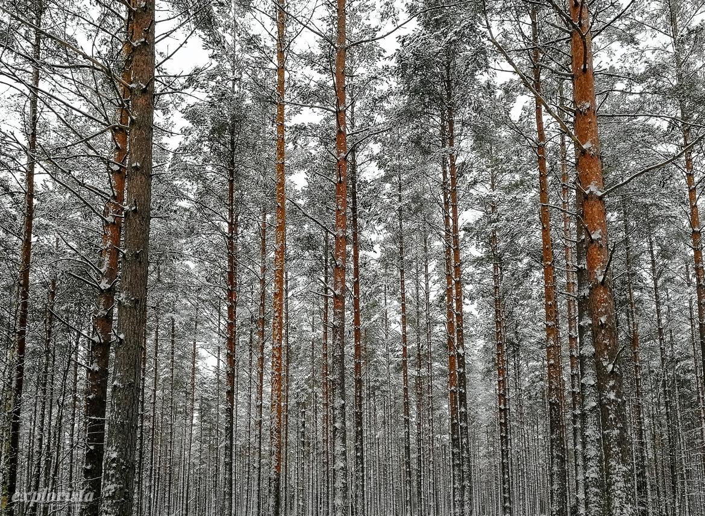 tallskog vinter snö