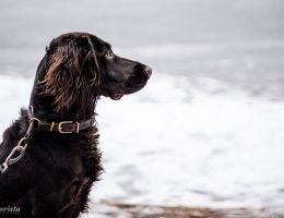 vaktelhund
