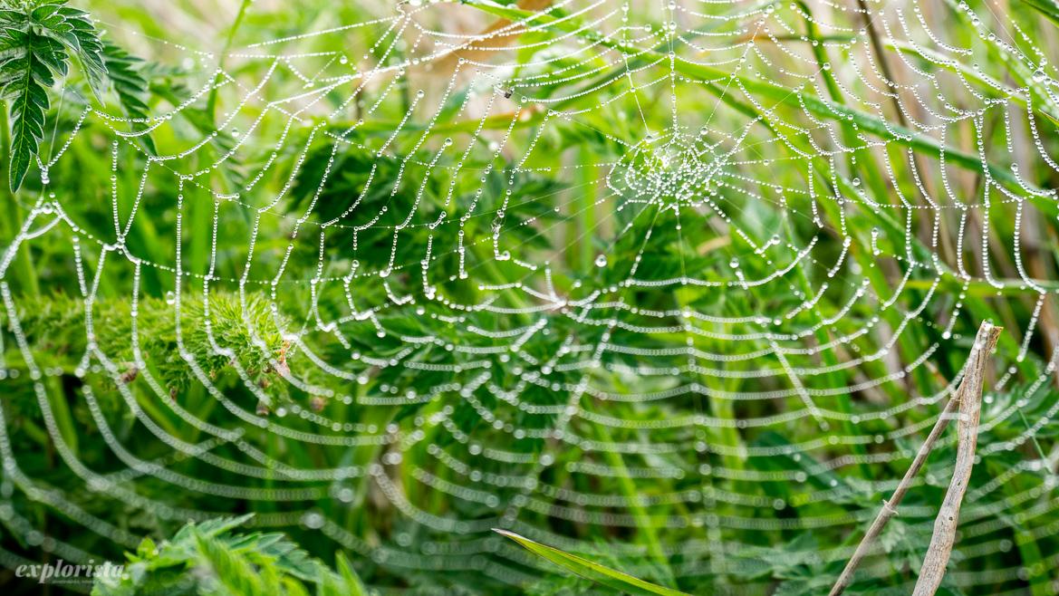 spindelnät med droppar