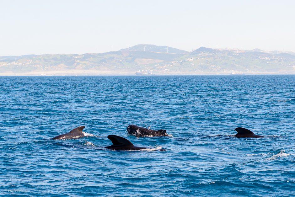 pilot whales tarifa