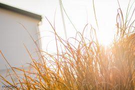 motljus gräs